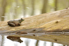 Bullfrog On A Log. A bullfrog perched on a log in a swamp with reflection stock photos