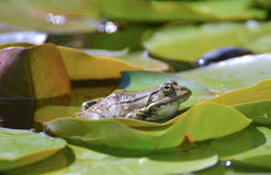 Bullfrog among lotus leaf Royalty Free Stock Photos