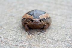 Bullfrog på slipat i asia Royaltyfri Fotografi