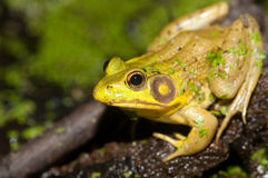 Bullfrog on a pond. A bullfrog sits at the edge of a pond on a summer evening royalty free stock photos