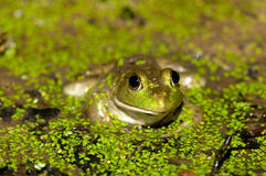 Bullfrog on a pond Royalty Free Stock Photos