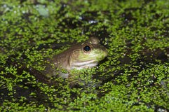 Bullfrog on a pond Royalty Free Stock Image