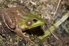 Bullfrog on a pond Stock Image