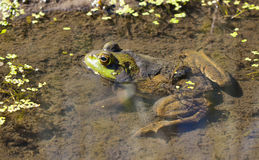Bullfrog in Pond Stock Image