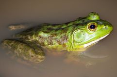 Bullfrog in a pond royalty free stock images