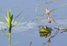 Bullfrog in a Pond. An American Bullfrog (Lithobates catesbeianus) sits in a pond Stock Photography