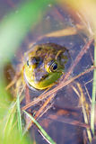 Bullfrog in a pond. A Bullfrog sits in shallow water near the edge of a pond royalty free stock photos