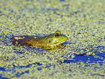 Bullfrog in Pond Royalty Free Stock Images
