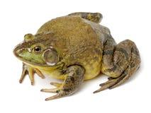 Bullfrog, Rana catesbeiana, obraz stock