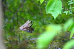 Bullfrog (Rana catesbeiana) Royalty Free Stock Photo