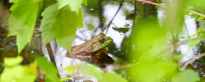 Bullfrog (Rana catesbeiana) Royalty Free Stock Photos