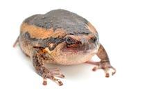 Bullfrog. Rana catesbeiana, against white background, studio shot royalty free stock photos