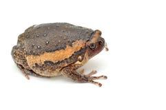 Bullfrog. Rana catesbeiana, against white background, studio shot royalty free stock photography