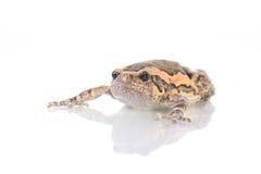 Bullfrog, Rana catesbeiana Royalty Free Stock Photo
