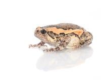 Bullfrog, Rana catesbeiana Royalty Free Stock Images