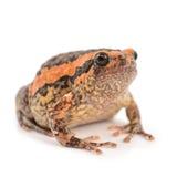 Bullfrog. Rana catesbeiana, against white background, studio shot royalty free stock image