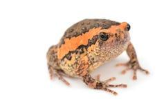 Bullfrog. Rana catesbeiana, against white background, studio shot stock images