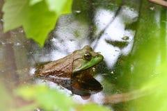 Bullfrog (Rana catesbeiana) Royalty Free Stock Image