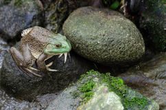 Bullfrog Rana Catesbeiana. Sitting on the stone stock photography