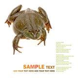 Bullfrog, Rana catesbeiana Royalty Free Stock Image
