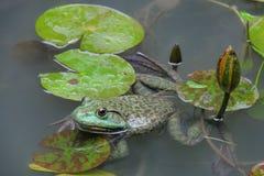Bullfrog, Rana catesbeiana, in lotus pool. On a rainy day Royalty Free Stock Photo