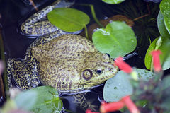 Bullfrog or Rana catesbeiana Royalty Free Stock Photography