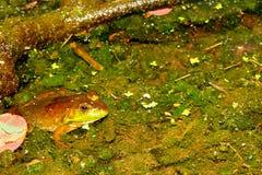 Bullfrog Rana catesbeiana Wisconsin. Bullfrog Rana catesbeiana in a pond of the Kettle Moraine State Forest of Wisconsin royalty free stock photos