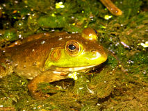 Bullfrog (Rana catesbeiana) Wisconsin Royalty Free Stock Images