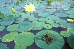 Bullfrog (Ranacatesbeiana) Arkivfoton