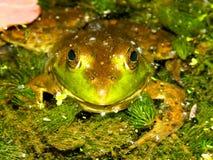 Bullfrog (Ranacatesbeiana) Wisconsin Royaltyfri Foto