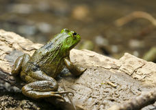 Bullfrog Resting on Bark. A green and brown bullfrog rests on a piece of bark before jumping into the water Stock Image