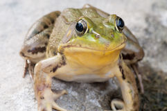 Bullfrog On A Rock royalty free stock images