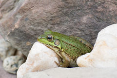 Bullfrog On A Rock royalty free stock image