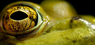 Bullfrog's eye. Macro of the eye of a bullfrog stock photography