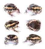 Bullfrog. Set isolate on a white background stock photography