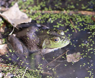 A Bullfrog in Shallow Water at the Edge of a Pond Royalty Free Stock Photos