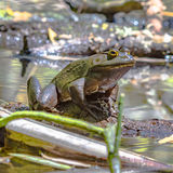 Bullfrog sitting on a log. Close up of a bullfrog sitting on a log in a pond royalty free stock photography