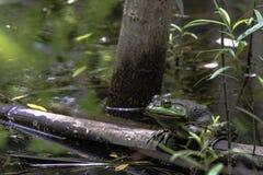 Bullfrog sitting on a log - horizontal stock photography
