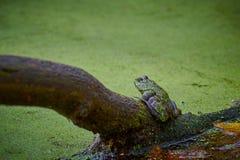 Bullfrog sitting on a Log royalty free stock photo