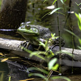 Bullfrog sitting on a log - square. Green bullfrog sitting on a log in square format stock photo