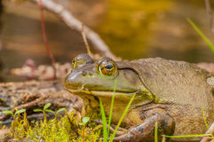 Bullfrog. Sitting on a log in a swamp royalty free stock image