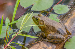 Bullfrog. Sitting on a log in a swamp stock photos
