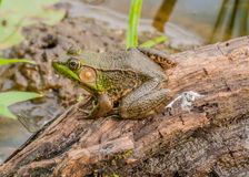 Bullfrog. Sitting on a log in a swamp stock image