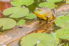 Bullfrog. Sitting on a log in a swamp royalty free stock photo