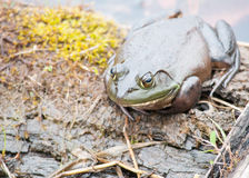 Bullfrog Sitting On A Log. In a swamp stock photography