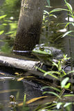 Bullfrog sitting on a log - vertical. Green bullfrog sitting on a log in a pond in vertical format stock image