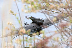 Bullfrog sitting on a log. Waiting for his Princess Royalty Free Stock Images