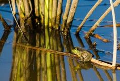Bullfrog. A Bullfrog sitting in a pond stock photos