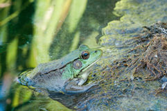 Bullfrog Sitting In A Swamp. Bullfrog sitting on a rock in a swamp royalty free stock photography