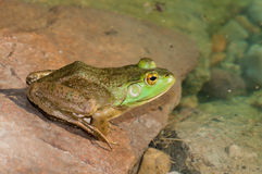 Bullfrog Sitting In A Swamp. Bullfrog sitting on a rock in a swamp royalty free stock photos